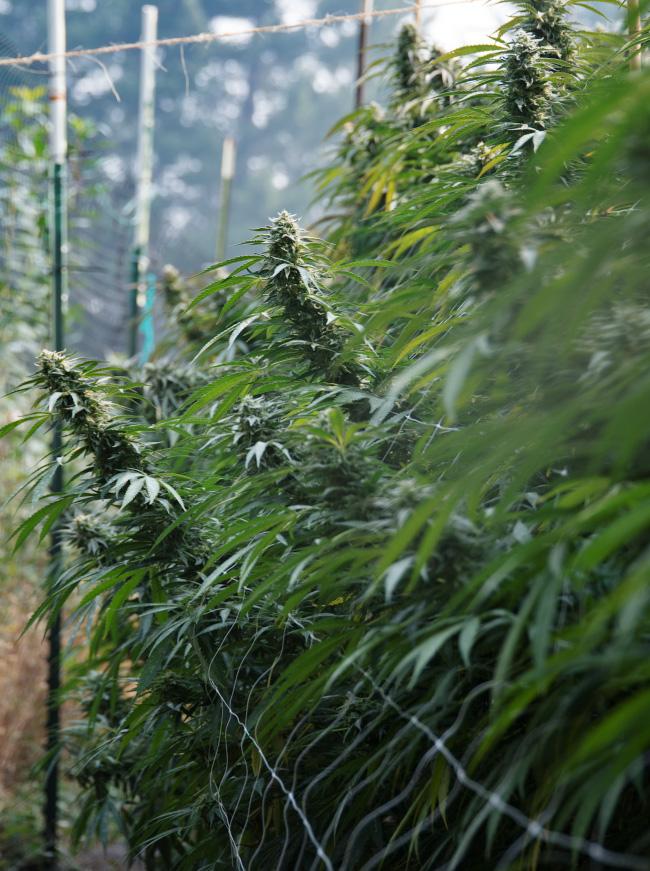 Humboldt Cannabis Farm